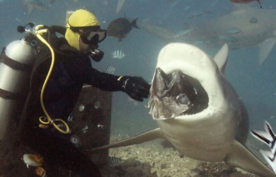 Shark feeding in action